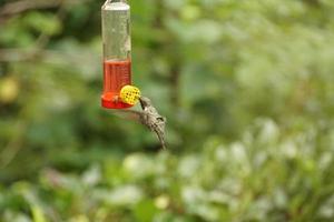 cantarolando pássaro bebendo foto