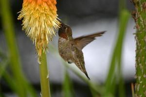 beija-flor chupando néctar foto