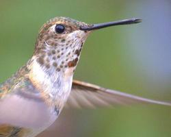 beija-flor em voo foto