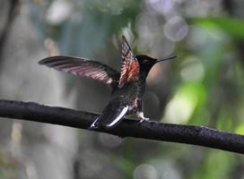 colibri no mindo na floresta nublada do equador foto