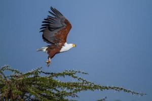 águia-pescadora africana decolando foto