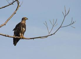 jovem águia careca empoleirar-se foto
