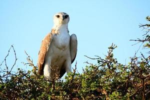 posando juvenil de águia marcial