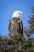 conversa de águia foto