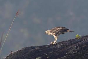 águia mutável do falcão