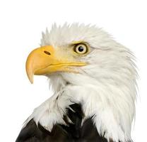 águia americana (22 anos) - haliaeetus leucocephalus foto