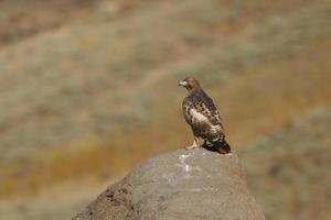 Falcão de cauda vermelha em uma rocha foto