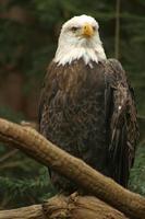 águia (2) foto
