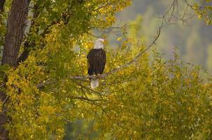 águia careca em uma árvore foto