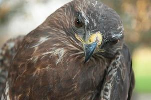 pássaro falcão foto