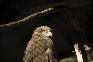 falcão pardal foto
