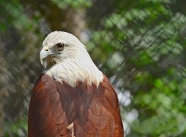Falcão vermelho foto