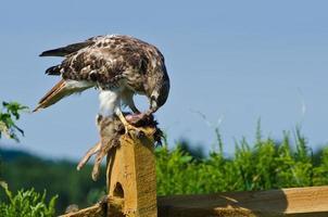 Falcão de cauda vermelha comendo coelho capturado