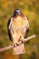 Falcão de cauda vermelha, sentado em uma vara foto