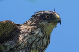 falcão afiado-shinned foto