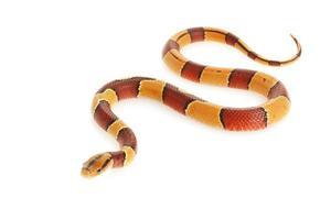 serpente de bambu vermelha de banda larga foto