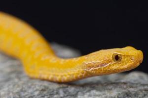 asp viper, albino / vipera aspis