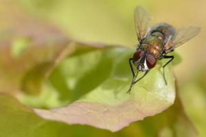mosca de cobre foto