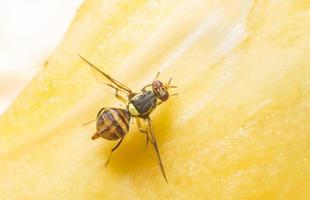 mosca da fruta foto
