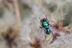 mosca garrafa verde foto