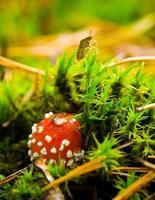 cogumelo agárico foto