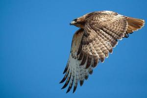 falcão de cauda vermelha voadora foto