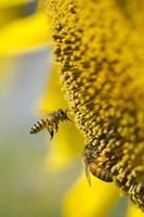 abelha voando no girassol foto