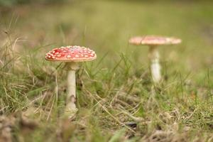 cogumelo venenoso (agaric de mosca) foto