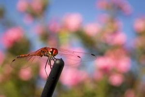 mosca dragão close-up tiro. foto