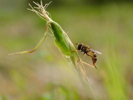 mosca de cavalo nos prados foto