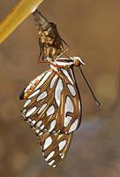 borboleta