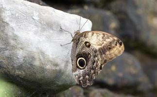 borboleta coruja foto