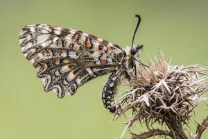 borboleta em grande detalhe estalajadeiro