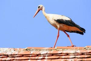 cegonha branca no telhado da casa foto