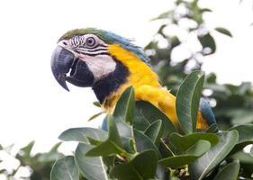 papagaio comendo na natureza foto