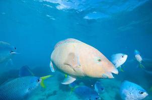 peixe papagaio foto