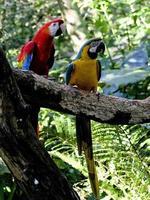 araras pássaros foto