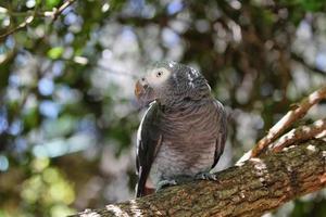 timneh grey papagaio foto