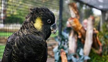 linda cacatua preta com bochechas amarelas foto