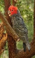cacatua de gangue, papagaio australiano vulnerável foto