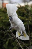 papagaio cacatua-de-crista-amarela dançando em alguma árvore foto