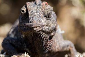 camaleão close-up foto