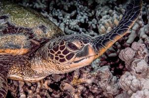 tartaruga marinha tiro na cabeça foto