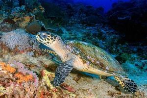 alimentação da tartaruga-de-pente foto