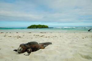 iguanas relaxantes na praia em santa cruz galápagos foto