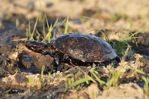 tartaruga com petróleo