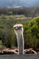 avestruz (xxxl) foto