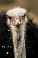 avestruz bebendo foto