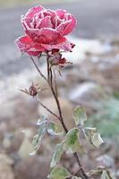 rosa vermelha coberta de geada