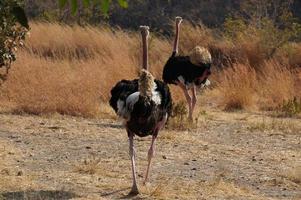 avestruz fugindo foto